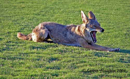 Coyote Yawn PS 2-26-08500 c 8.jpg